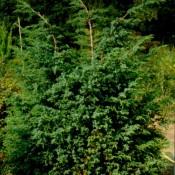 """Juniperus chinensis """"Blue Alps"""""""