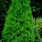 "Juniperus chinensis ""Strikta"""