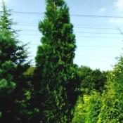 Calocedrus decurrens, immergrüne Weihrauchzeder.