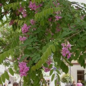 "Robinia ""Pink Cascade"""