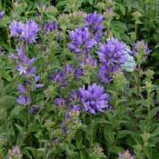 Knäuel-Glockenblume mit blauen Blüten, Campanula glomerata 'Speciosa'.
