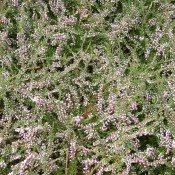 dunkelrosa blühende Besenheide, Calluna vulgaris 'Red Favorit'.