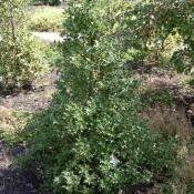 Das Bild zeigt den Habitus von Ilex aquifolium 'Alaska', zu deutsch auch Stechpalme genannt.