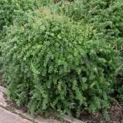 Pflanze Berberis buxifolia 'Nana', immergrüne Zwerg-Berberitze.