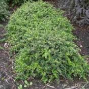 Die gesamte Pflanze Berberis candidula, oder Immergrüne Zwerg-Berberitze.