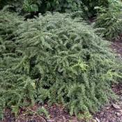 Pflanze von Berberis frikartii 'Amstelveen', Immergrüne Kugel-Berberitze.
