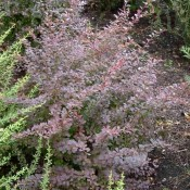 Habtus von Berberis thunbergii 'Atropurpurea', der Roten Hecken-Berberitze.