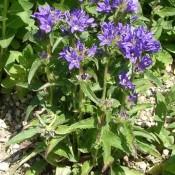 Campanula glomerata 'Acaulis', Knäuel-Glockenblume mit blauen Blüten.