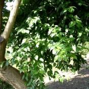 Osagedorn
