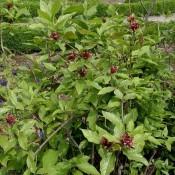 Calycanthus floridus, Gewürzstrauch mit braunen Blüten.
