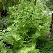 Grün gefiedertes Blatt von Onoclea sensibilis, dem Perlfarn.