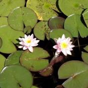 Die weisse Blüte von Nymphaea x cult.'Marliacea Rosea', einer Seerose.