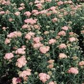 Achillea millefolium 'Lachsschönheit'