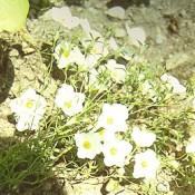 Nierembergia hippomanica