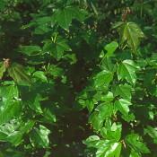 Dreizahnahorn