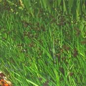 Das Bild zeigt die Blüte von Juncus ensifolius, zu deutsch auch Zwergbinse genannt.