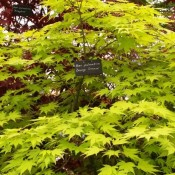 "Acer plamatum ""Orange Dream"""