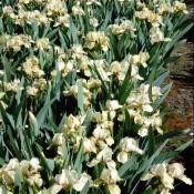 Zwerg-Schwertlilie