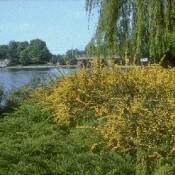 Das Bild zeigt die Schmallblättrige immergrüne Berberitze, Berberis stenophylla.