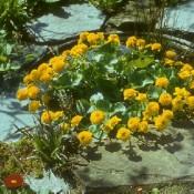 Gefülltblühende Sumpfdotterblume mit gelber Blütenfarbe, Caltha palustris 'Multiplex'.