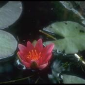 Das Bild zeigt die Blüte von Nymphaea x cult.'James Brydon', zu deutsch auch Seerose genannt.