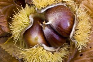 Das Bild zeigt die Frucht der Maroni oder Esskastanie, Castanea sativa.