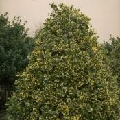Das Bild zeigt den Habitus von Ilex altaclerensis 'Golden King', zu deutsch auch Gelbbunte Stechpalme genannt.