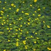 Das Bild zeigt die gelbe Blüte von Nymphoides peltata, deutsch auch Seekanne genannt.