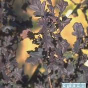 """Quercus petraea """"Purpurea"""""""