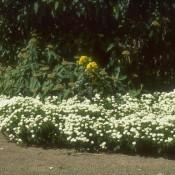 """Das Bild zeigt die Blüte von Iberis sempervirens """"Findel"""", zu deutsch auch Schleifenblume oder Schneekissen genannt."""