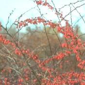 Früchte von Berberis vulgaris, dem Sauerdorn.
