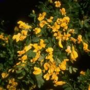 """Das Bild zeigt die Blüte von Iberis sempervirens """"Elfenreigen"""", zu deutsch auch Schleifenblume oder Schneekissen genannt."""