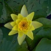 Das Bild zeigt die gelbe Blüte von Nymphaea x cult.'Marliacea Chromatella', einer Seerose.