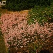 Blüte von Calluna vulgaris 'H.E.Beale', Besenheide.