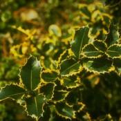 Gelbbunte Stechpalme