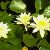 Das Bild zeigt die weisse Blüte von Nymphaea x cult.'Marliacea Albida', zu deutsch auch Seerose genannt.