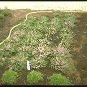 lachsrosa gefüllte Besenheide, Calluna vulgaris 'J.H.Hamilton'.