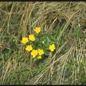 Gelben Blüten von Caltha palustris, Sumpfdotterblume.