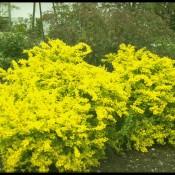 Gelbe Blüte von Berberis thunbergii 'Aurea', der japanischen Goldblatt-Berberitze.