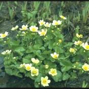 Caltha palustris var.alba, Weiße Sumpfdotterblume mit Blüten.