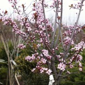 "Prunus cerasifera ""Nigra"""