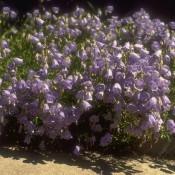 Zwerg-Glockenblume