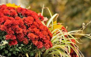 Das Bild zeigt eine rote Chrysantheme mit Gräsern, die im Herbst blühen.