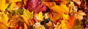 Das Bild zeigt Ahornblätter mit der unterschiedlichsten Herbstfärbung.