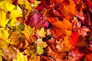 Herbstfärbung gelb bis rot
