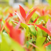 Das Bild zeigt den roten Laubaustrieb der Photinia fraseri 'Red Robin', die zu deutsch Glanzmispel genannt wird.
