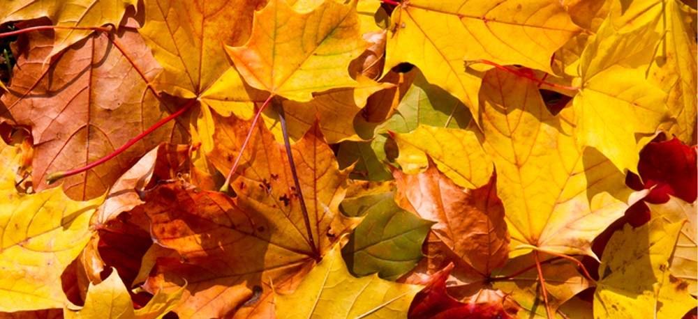 Ahornblätter mit gelber Herbstfärbung
