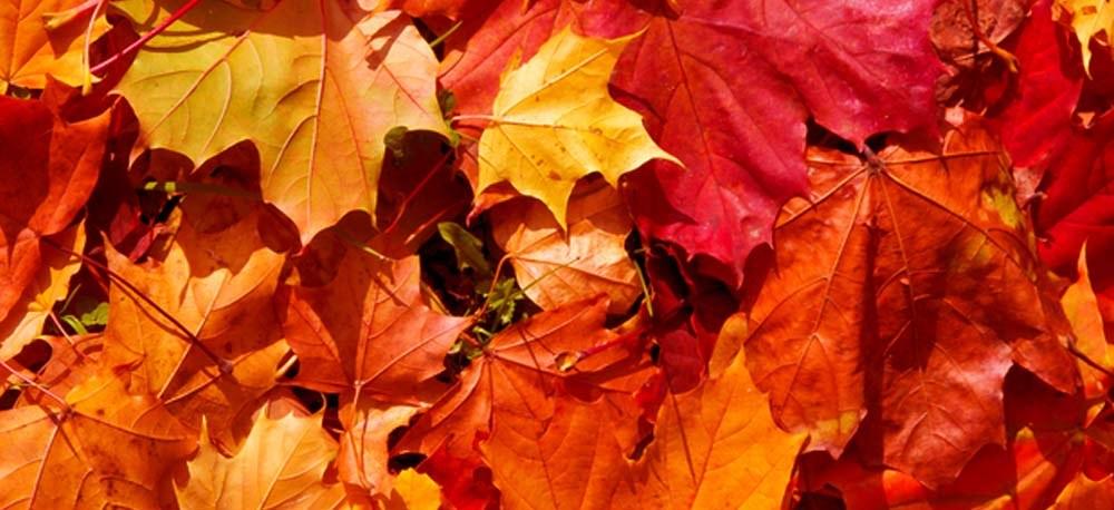 Rote Ahornblätter mit Herbstfärbung.