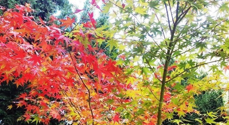 Herbstfärbung des Fächerahorn