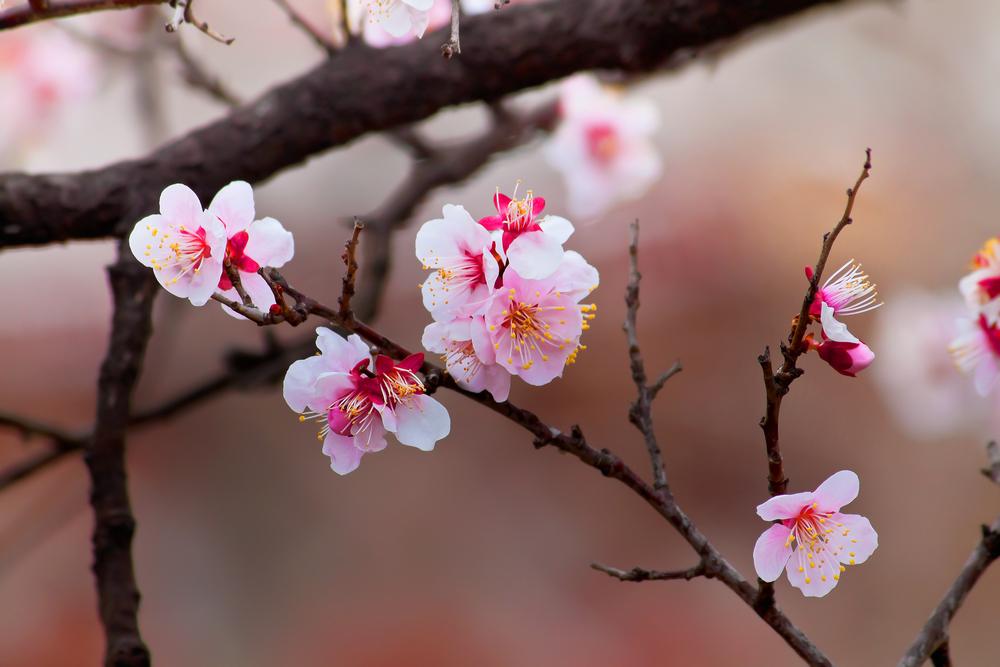 rosa Blüte des Barbarazweigs oder Kirschblüte.